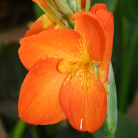 Canna Orange Punch